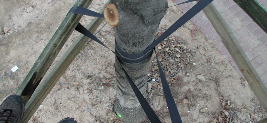 Support struts for new tree