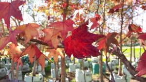 Liquidambar styraciflua Autumn colours