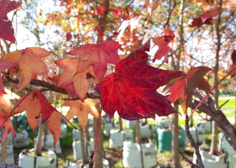 Liquidambar styraciflua Autumn colours
