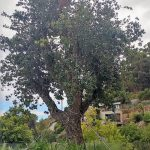 quercus suber cork oak pot