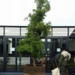 afrocarpus falcatus in pot