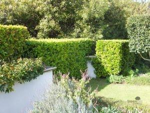 Viburnum sinensis hedge