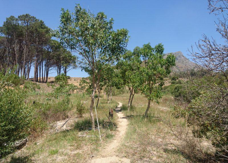 nuxia floribunda; tree