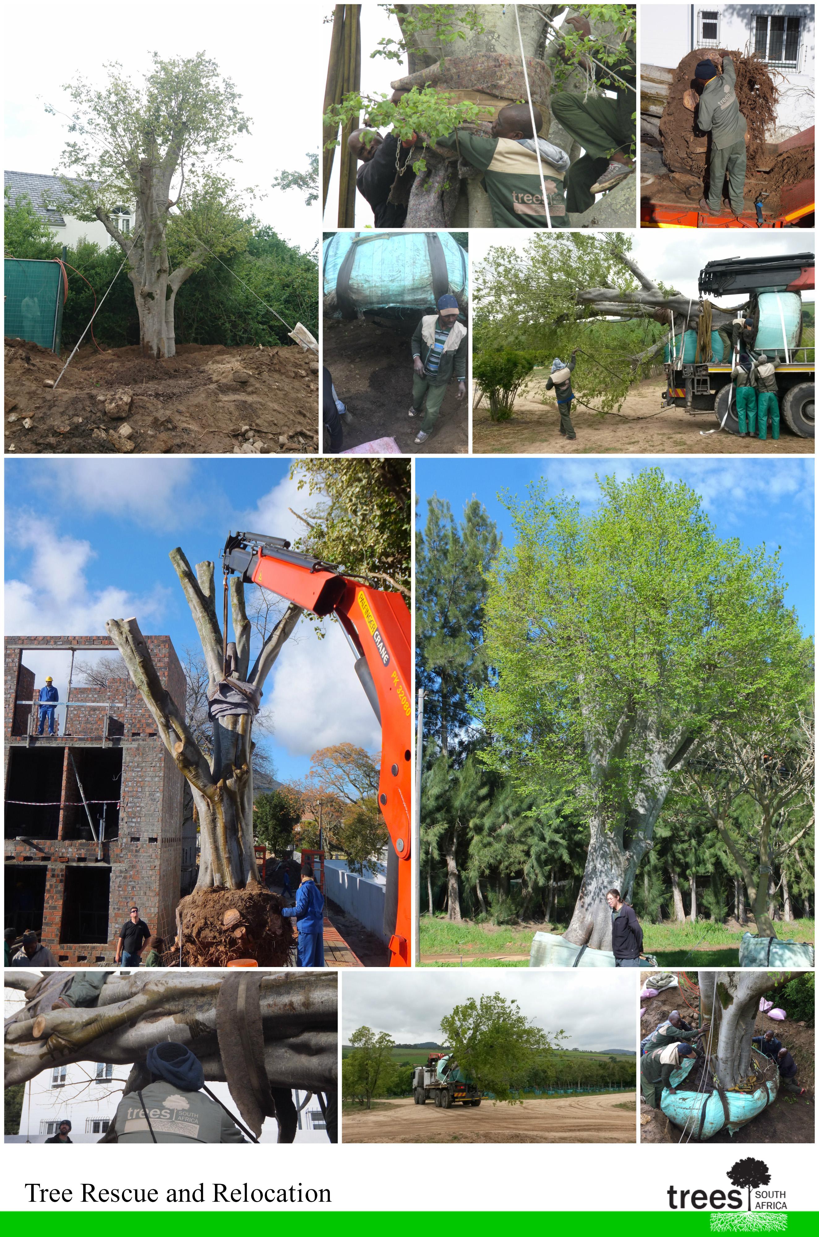 tree rescue; tree relocation