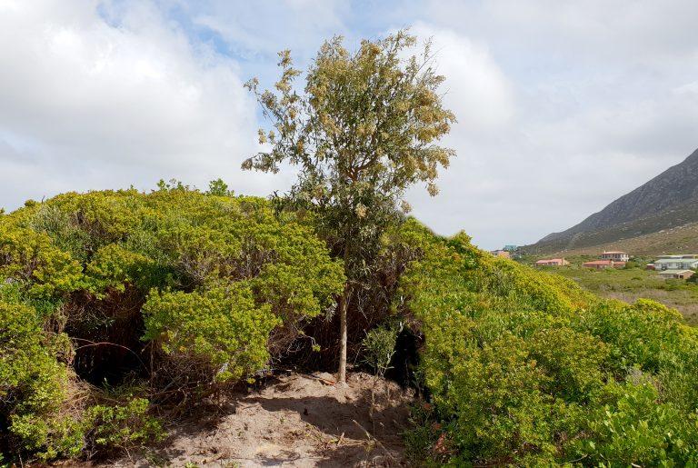 tarchonanthus camphoratus wedding tree