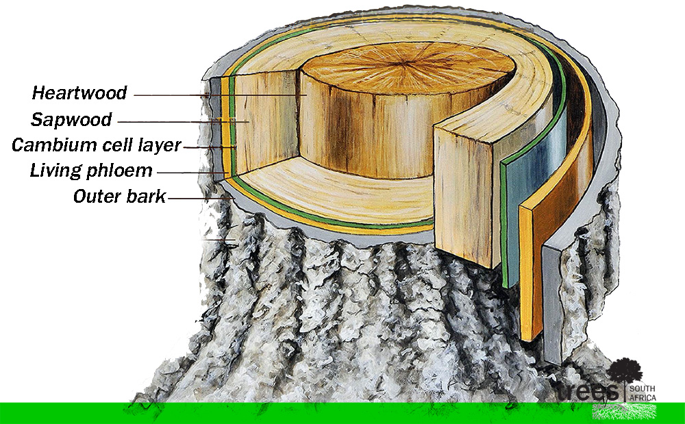anatomy of a tree - trees sa tree trunk layers diagram diagram of tree trunk #7