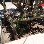 staking frangipani
