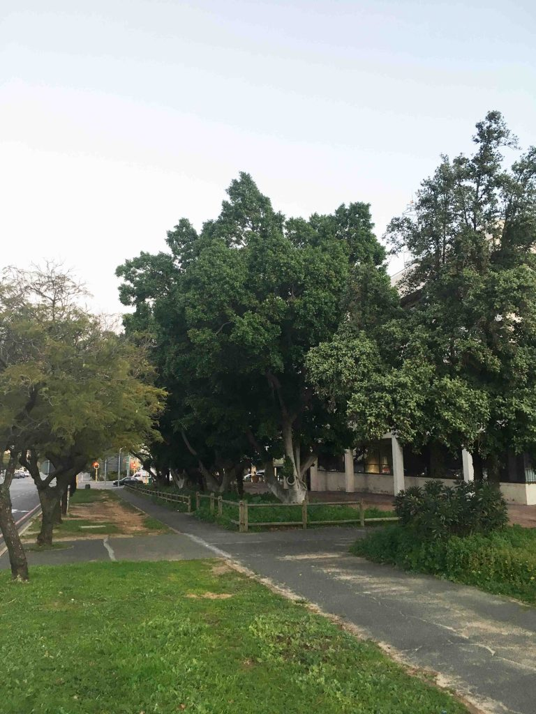 Ficus microcarpa Somerset West Municipality Building Cn of Andries Pretorius & Victoria Rd July 2018