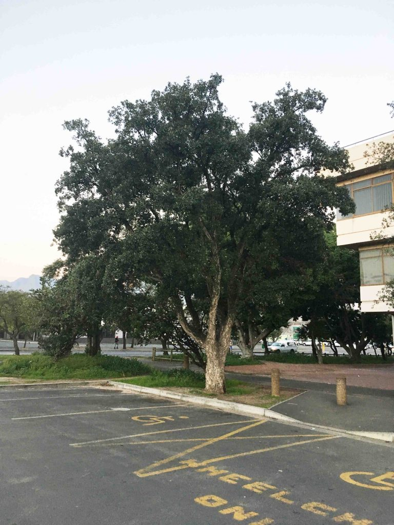 Quercus suber Somerset West Municipality Admin Building July 2018