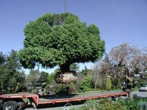 Podocarpus henkelii mature - Rescued