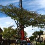 Mature Ficus natalensis rescue- 15 metres wide