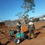 Syzygium guineense 250-litre - Malmesbury