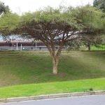 Mature Vachellia sieberiana - Durbanville