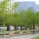 Avenue of Vachellia xanthophloea - Cape Town