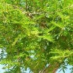 Vachellia sieberiana - foliage