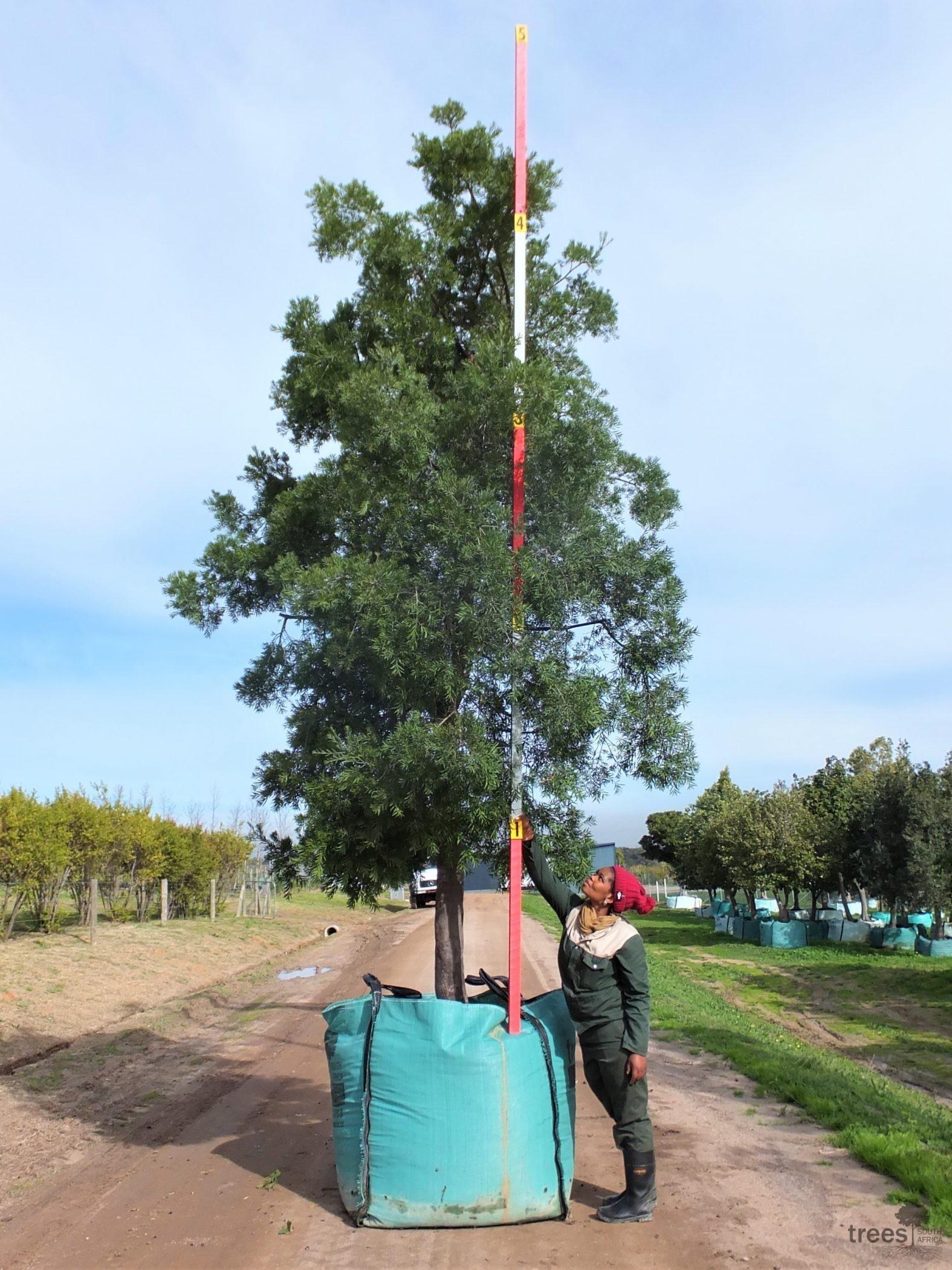 Afrocarpus falcatus 1000-litres