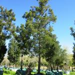 Afrocarpus falcatus 3000-litres
