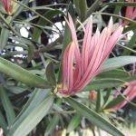 Afrocarpus latifolius new leaves