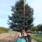 Afrocarpus latifolius 1000-litres