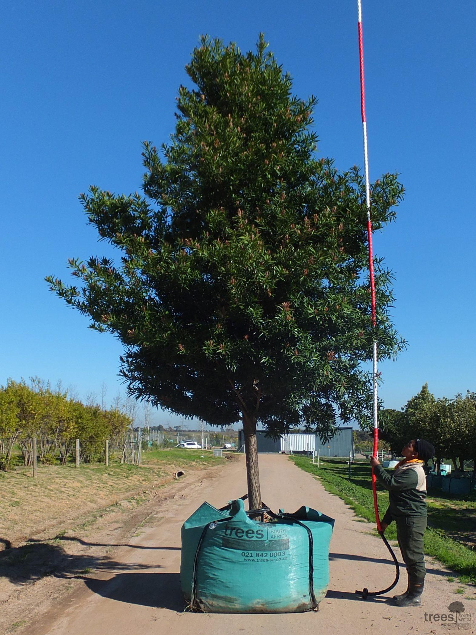 Afrocarpus latifolius 2000-litres