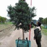 Afrocarpus latifolius 250-litres