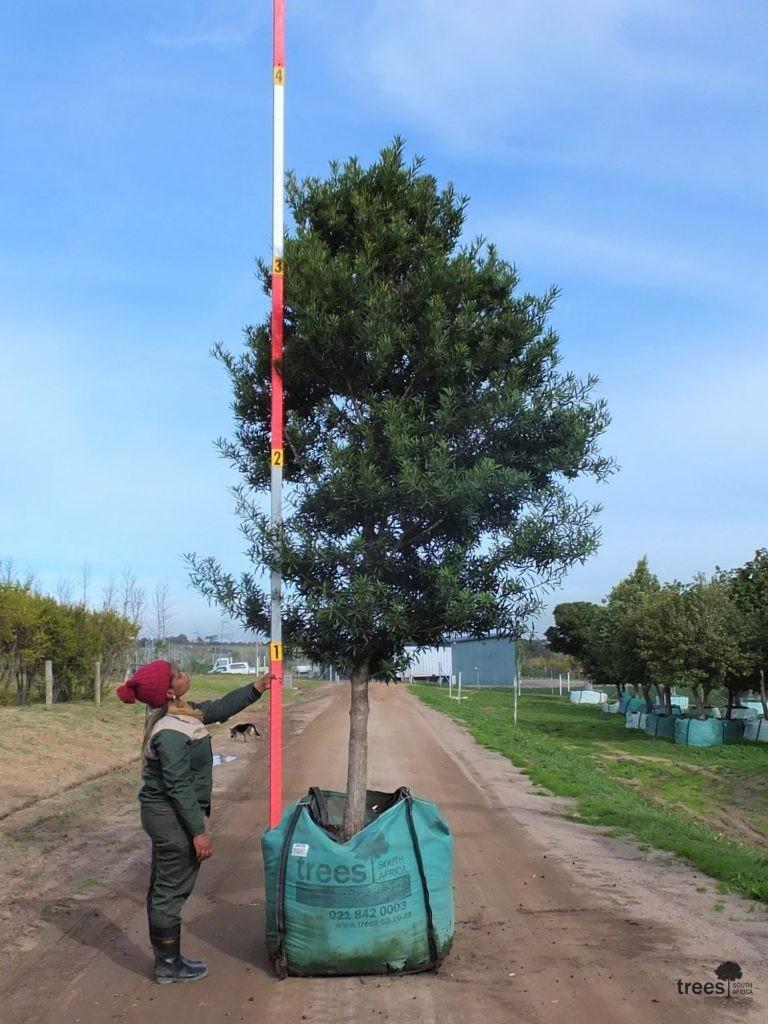 Afrocarpus latifolius 500-litres
