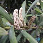 Afrocarpus latifolius male cones (inflorescence)