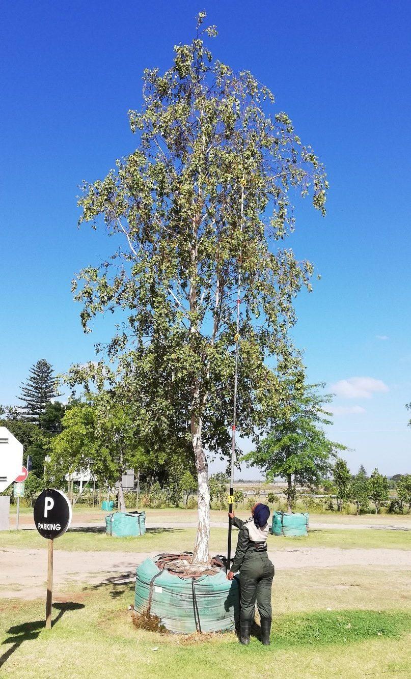 Betula pendula 2000-litre