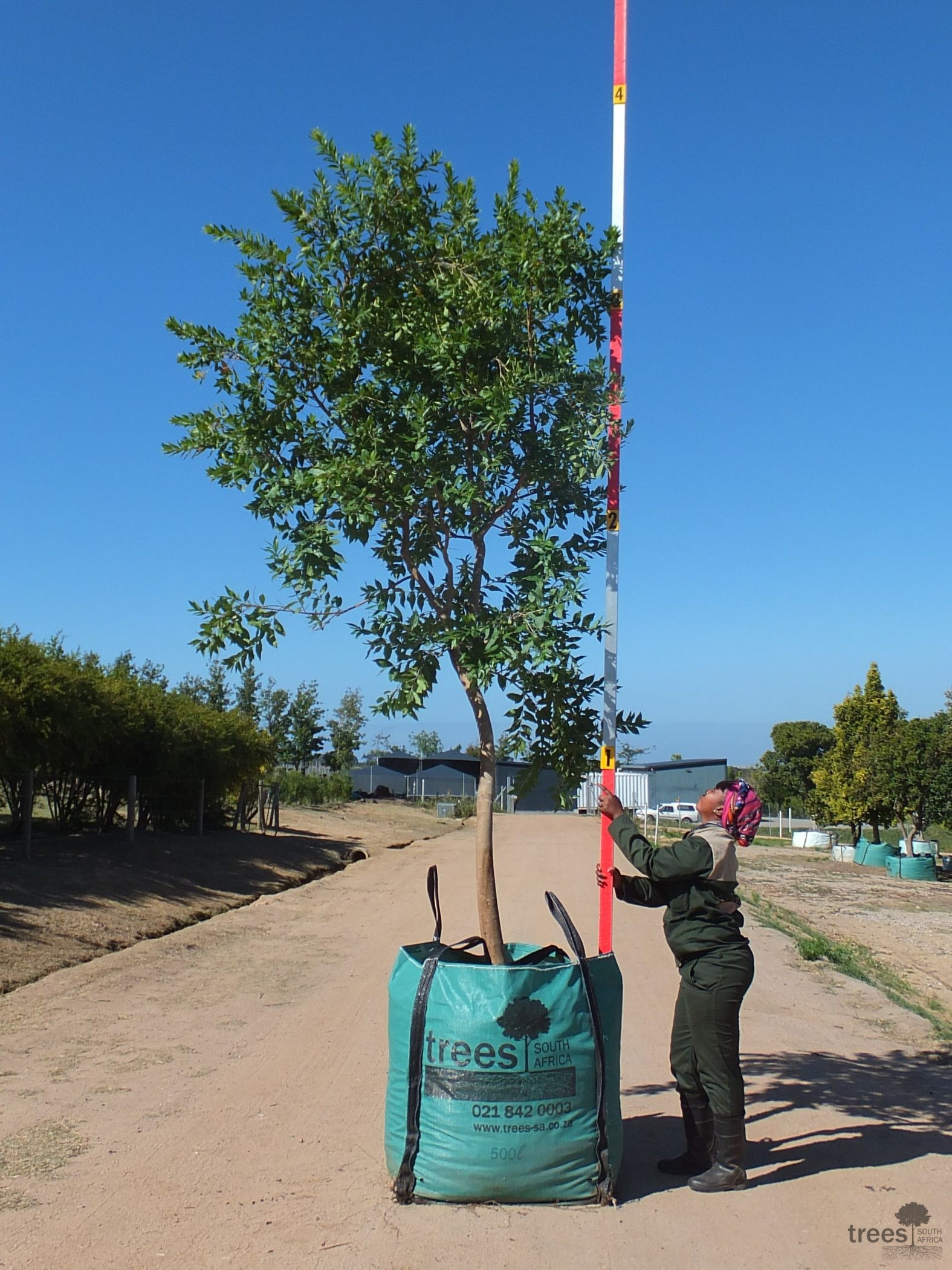 Combretum erythrophyllum 500-litre
