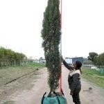 Cupressus sempervirens Stricta 250-litre