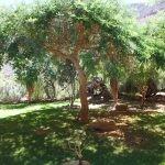 Mature Vachellia sieberiana - Karoo
