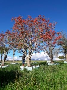Erythrina lysistemon 4500-litre in full bloom