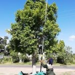 Ficus microcarpa (nitida) 2000-litre