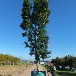 Ficus microcarpa (nitida) 1000-litre
