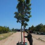 Ficus microcarpa (nitida) 250-litre