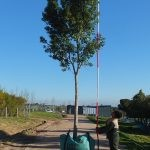 Ficus microcarpa (nitida) 500-litre