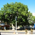 Mature Ficus microcarpa - Cape Town
