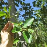 Ficus natalensis leaves