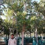 Ficus natalensis 500-litres