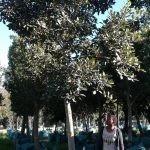 Ficus rubiginosa 1000-litres