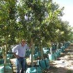 Ficus rubiginosa 250-litres