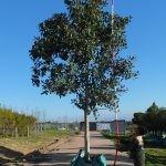 Ficus rubiginosa 500-litres