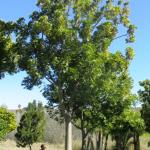 Harpephyllum caffrum 3000-litres