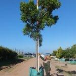 Harpephyllum caffrum 500L