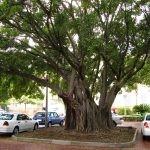 Mature Ficus natalensis - Stellenbosch