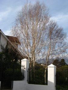 Mature Betula pendulas - Somerset West