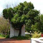 Mature Syzygium cordatum - Constantia