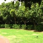 Mature Syzygium cordatum hedge - Constantia
