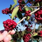 Ilex mitis fruit