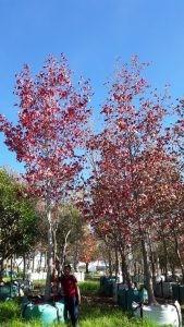 Liquidambar styraciflua 1000-litres scarlet Autumn colours